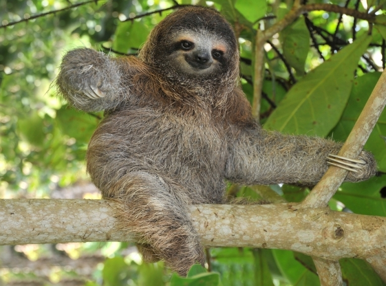 pygmy-sloth-mangroves_71212